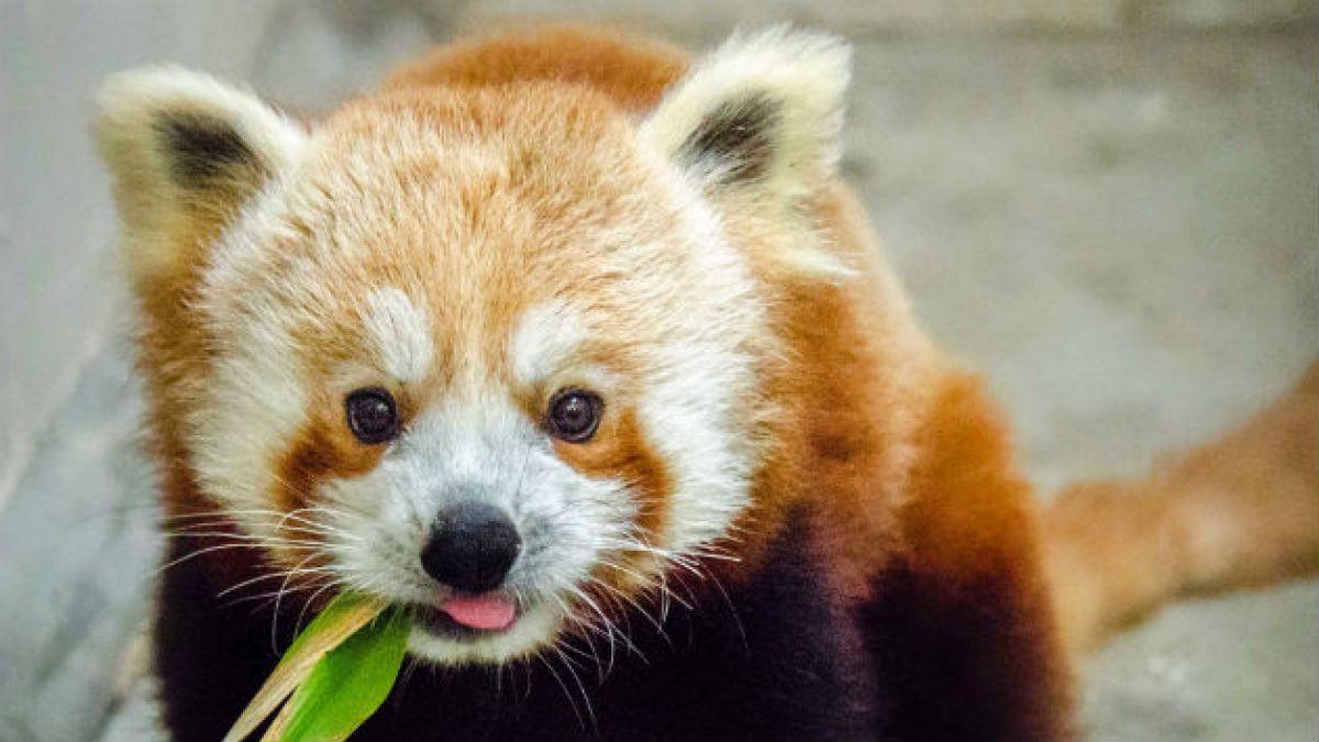 kung fu panda: panda rojo
